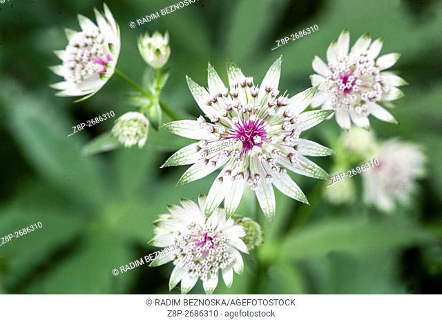 Masterwort, Astrantia major 'Georges Form'