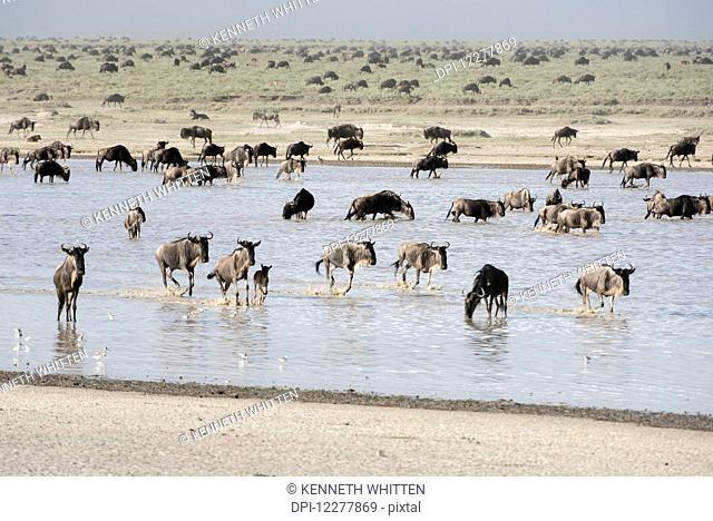 Large herd of Wildebeest (Connochaetes taurinus) migrates across shallow lake and Serengeti short grass plains near Ndutu