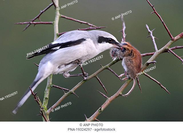 Great Grey Shrike Lanius excubitor - Beerzerveld, Ommen, Salland, Overijssel, The Netherlands, Holland, Europe