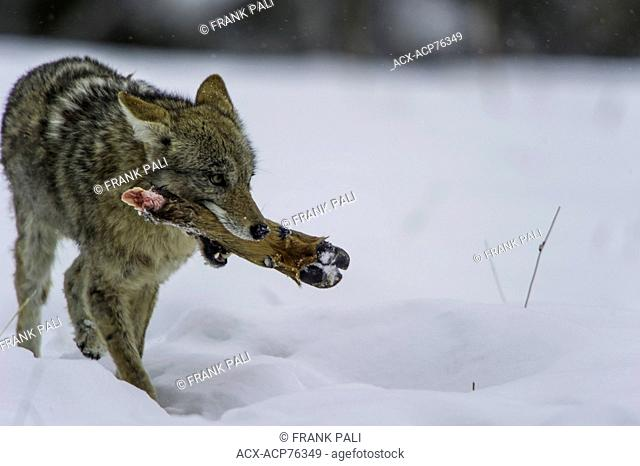 Coyote (Canis latrans) feeding on Elk foot from a previous kill. Wildlife of Yellowstone Park at Lamar Valley Mammoth Falls , Wyoming USA