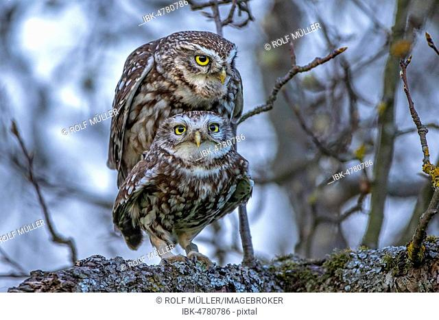 Little owl athene noctua mating Stock Photos and Images | age fotostock