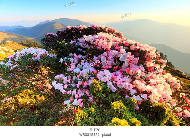 Rhododendron on Hehuan Mountain
