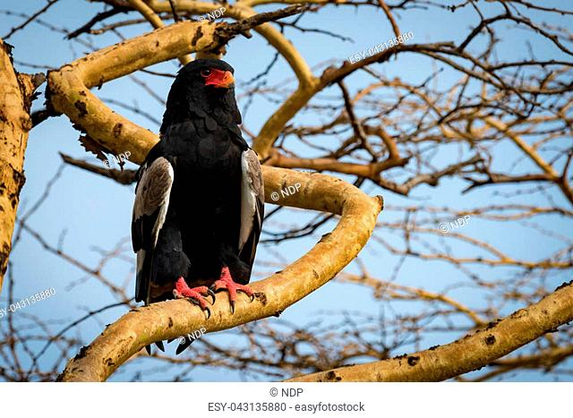 Bateleur eagle on thick branch staring ahead