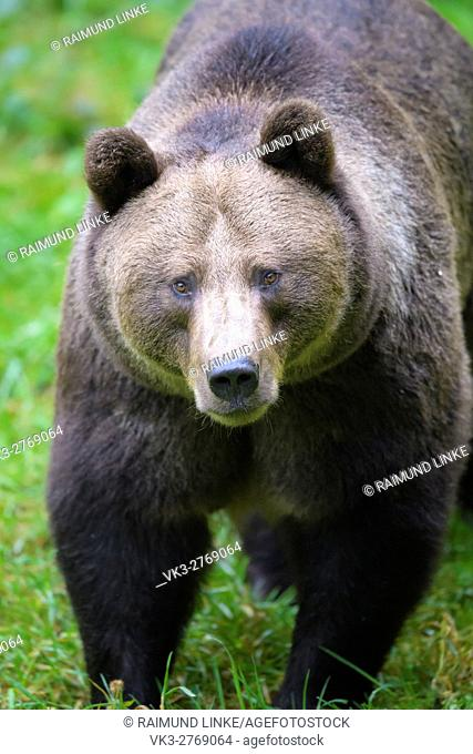 Brown Bear, Ursus arctos, Bavaria, Germany