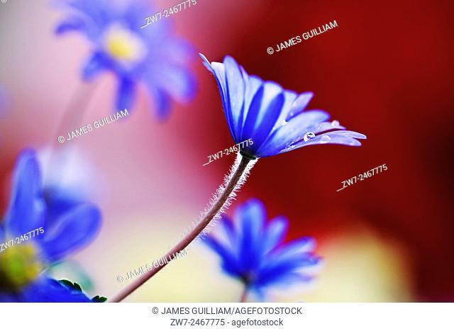 Anemone blanda spring flowering bulb corm