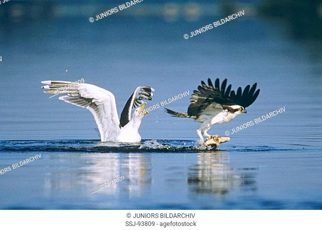 pandion haliaetus et larus marinus / osprey is stealing a fish from a great black-backed gull