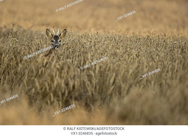 Roe Deer / Rehbock ( Capreolus capreolus ), buck with pointy antlers, hiding in a field of wheat, watching attentively