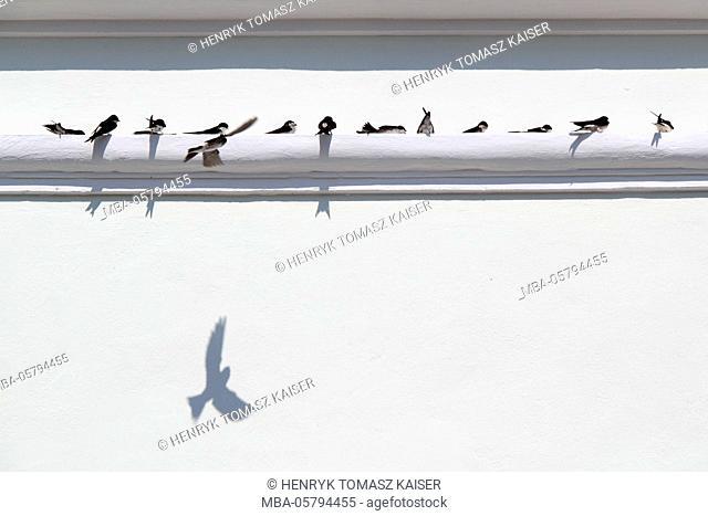 Swallows on white wall