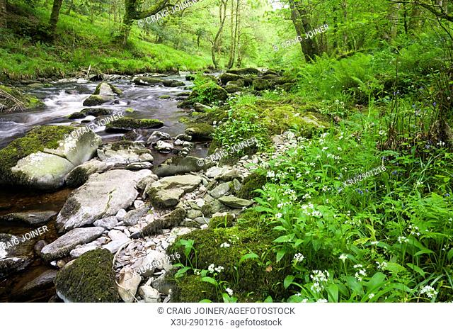 Ramsons (Wild Garlic) growing on the bank of the East Lyn River in Barton Wood in Exmoor National Park near Watersmeet, Lynmouth, Devon, England