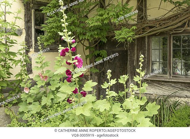 Ancient wooden door and mullioned glass window with traditional ceramics nestled behind deep pink hollyhocks and greenery in Frampton on Severn, the Cotswolds