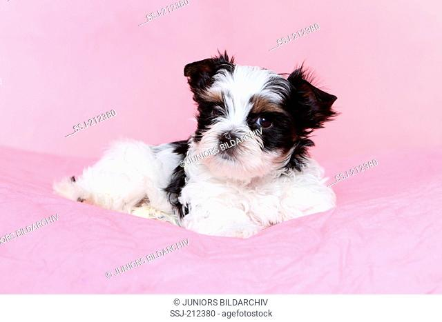 Biewer Terrier. Puppy (7 weeks old) lying. Studio picture against a pink background. Germany