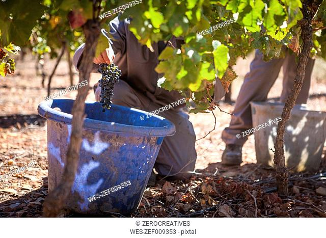 Man harvesting red grapes in vineyard