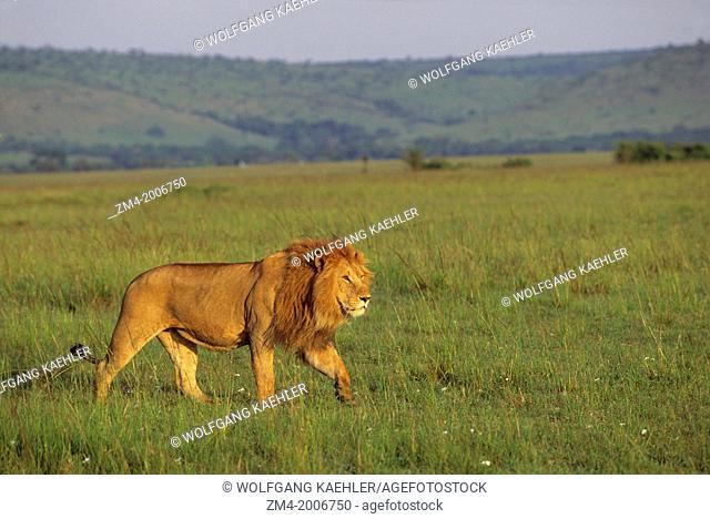KENYA, MASAI MARA, MALE LION STALKING THROUGH GRASS