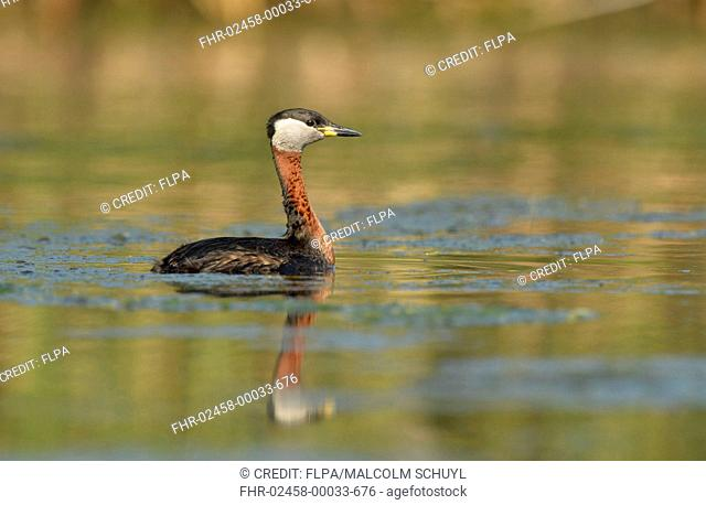 Red-necked Grebe (Podiceps grisegena grisegena) adult, breeding plumage, swimming in open water, Danube Delta, Tulcea, Romania, May