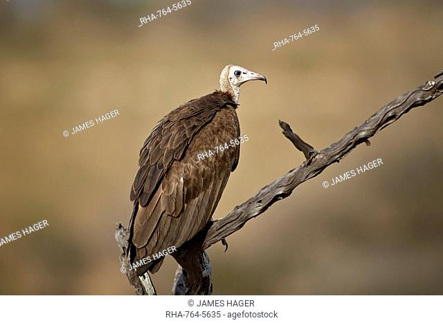 Hooded vulture (Necrosyrtes monachus), Selous Game Reserve, Tanzania, East Africa, Africa