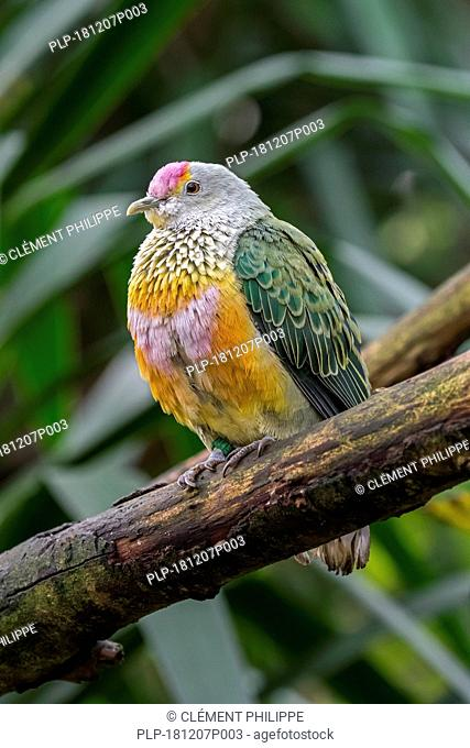 Rose-crowned fruit dove / pink-capped fruit dove / Swainson's fruit dove (Ptilinopus regina) perched in tree, native to Australia and Indonesia