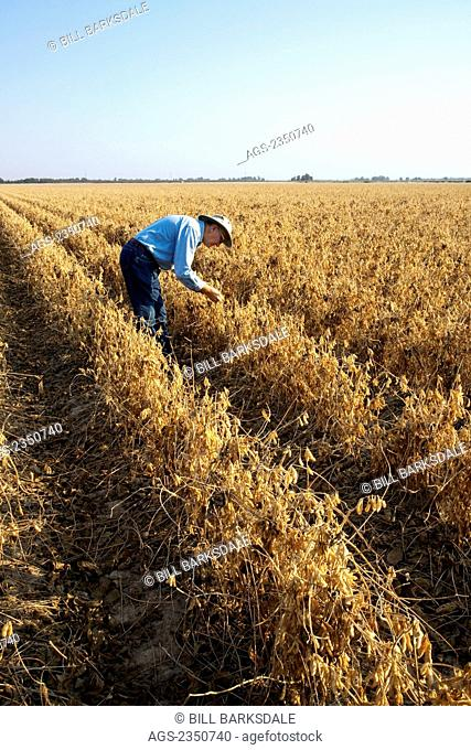 Agriculture - A farmer (grower) inspects his mature harvest ready crop of soybeans / near England, Arkansas, USA