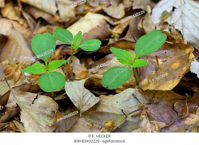 common beech (Fagus sylvatica), seelings, Germany