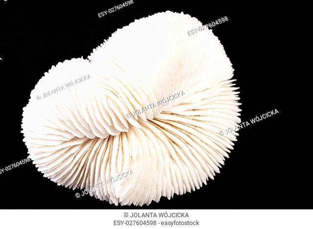 Sea shell of fungia coral isolated on black background, close up