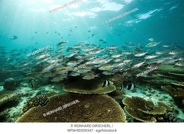 Glowspot Emperor over Table Corals, Gnathodentex aurolineatus, Ellaidhoo House Reef, North Ari Atoll, Maldives