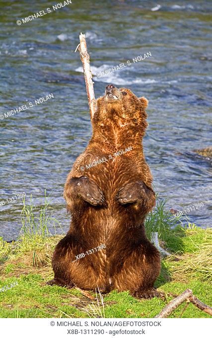 Adult brown bear Ursus arctos scratching its back on a tree at the Brooks River in Katmai National Park near Bristol Bay, Alaska