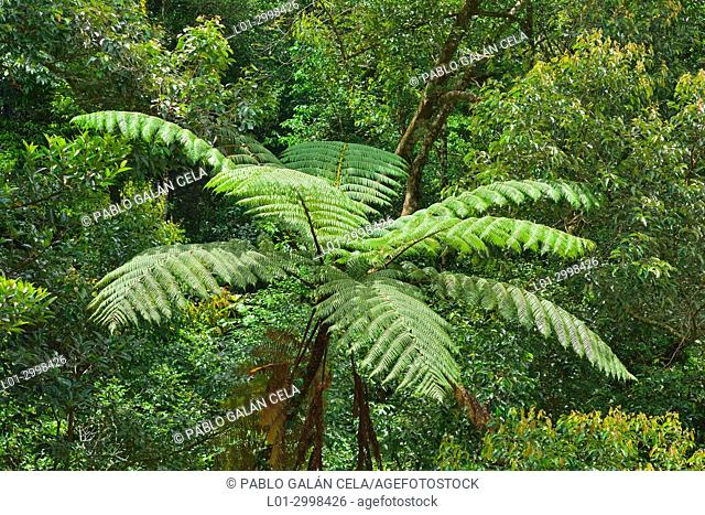 Tree fern in Kinabalu National Park