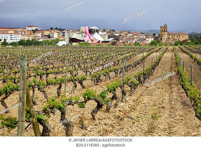 Vineyard, Bodegas Marques de Riscal, Elciego, Rioja Alavesa, Araba, Basque Country, Spain, Europe