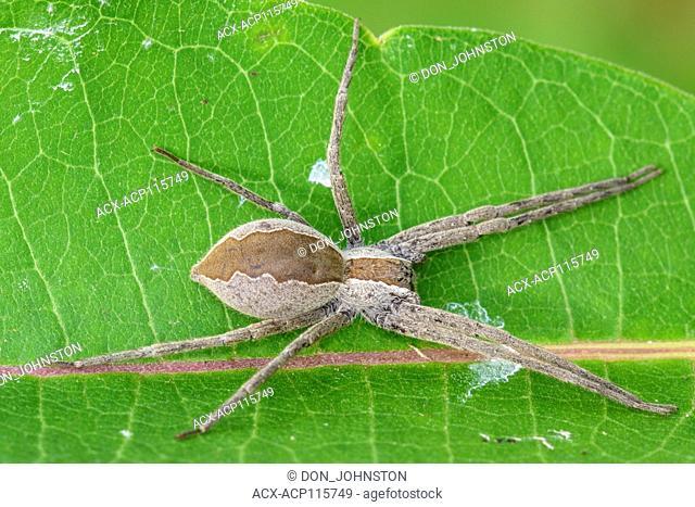 Nursery Web Spider (Pisaurina mira), Greater Sudbury, Ontario, Canada
