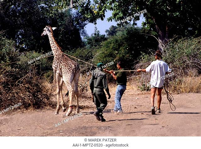 Game wardens rescuing a snared giraffe, South Luangwa National Park, Zambia