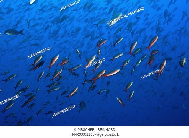 Shoal of Pacific Creolefish, Paranthias colonus, Galapagos, Wolf Island, Ecuador