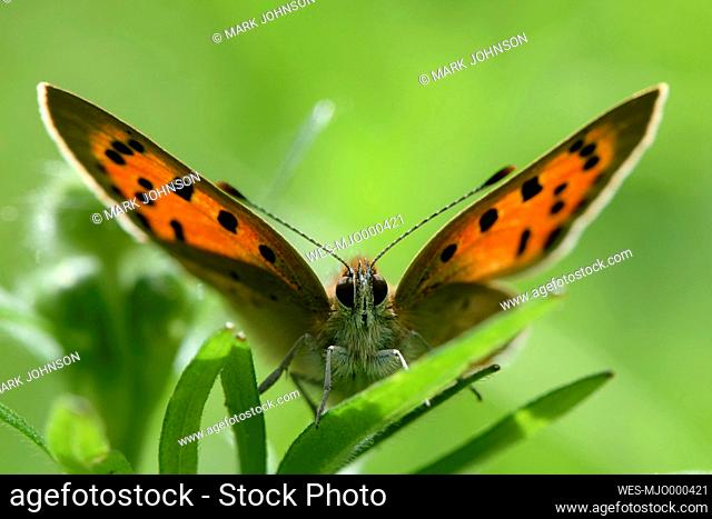 Small copper, Lycaena phlaeas, sitting on leaf