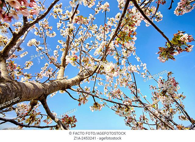 Blossom cherry tree viewed from below at the Vall de Laguar. Alicante. Valencia Community. Spain