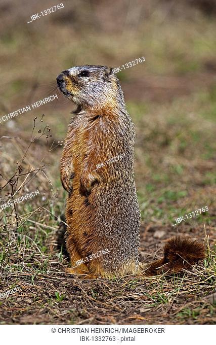 Groundhog, Woodchuck, Whistle-pig, Land-beaver (Marmota monax), Yellowstone National Park, Wyoming, Idaho, Montana, America, United States