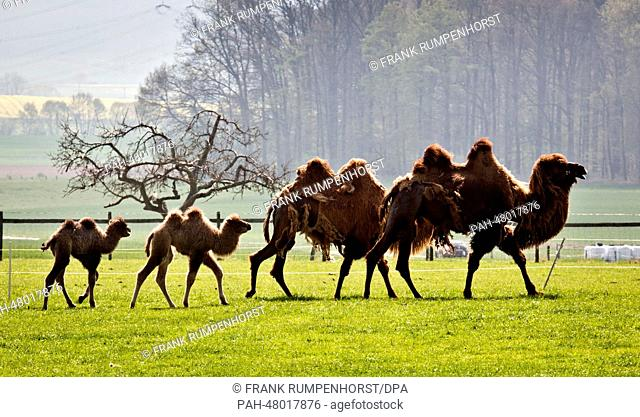 Two young camels follow their mothers across a meadow in the hilly Kuppenrhoen Natural region in Leibolz, Germany, 19 April 2014