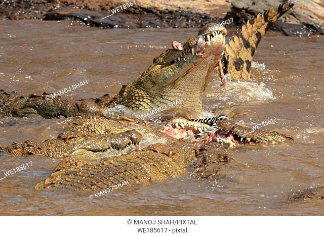 One unfortunate zebra foal was caught by a crocodile while crossing the river with zebra and wildebeest herds As soon as the crocodile started eating the dead...