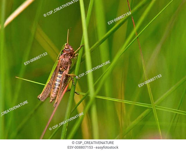 Grashopper in an abstract grass decor