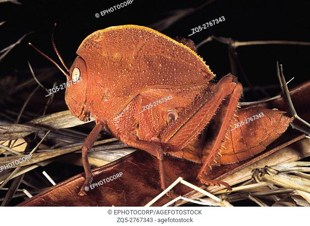Teratodus monticollaris. Hooded Locust. Pune, Maharashtra, India
