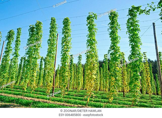 Growing Hop