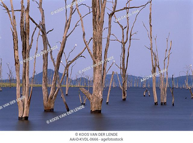 Dead hydroponic trees in Lake Kariba just before sunrise, Zimbabwe