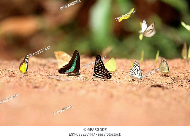 Group of butterfly on the ground (Common Jay, Common Bluebottle, Small Grass Yellow, Striped Albatross)
