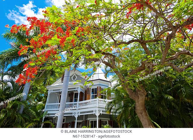 Royal poinciana tree flame tree and house, Key West, Florida Keys, Florida USA