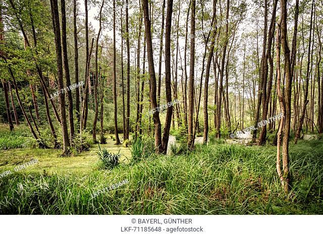 UNESCO World Heritage Old Beech Groves of Germany, Serrahn, Mueritz National Park, Mecklenburg-West Pomerania, Germany