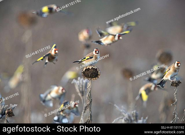Goldfinch (Carduelis carduelis). Flock foraging in a sunflower field. Germany
