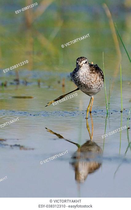Funny walk of Wood Sandpiper (Tringa glareola) at the shallow water. Manych lake, Kalmykia, Russia