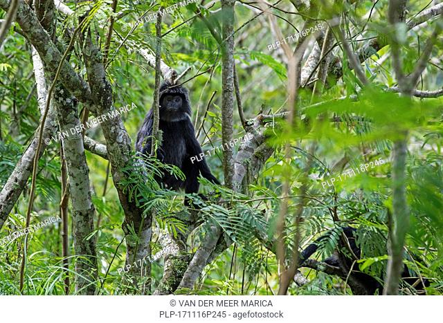 Javan lutung / Javan langur (Trachypithecus auratus) in tree in tropical rainforest on the slopes of the Rinjani volcano, island Lombok, Indonesia