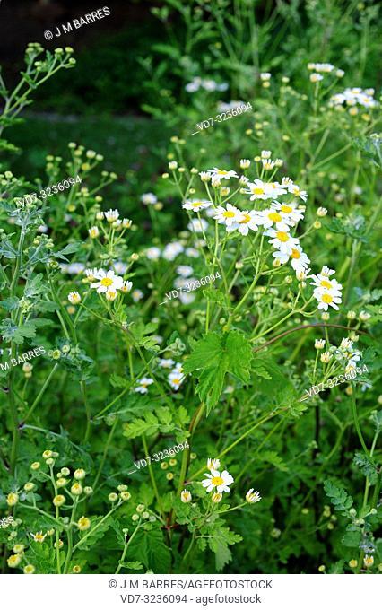 Feverfew (Tanacetum parthenium, Chrysanthemum parthemium or Matricaria parthenium) is a perennial medicinal herb native to Eurasia. Flowering plants