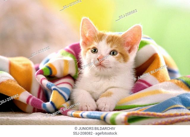 Domestic cat. Kitten lying in a multicolored blanket. Studio picture . Germany