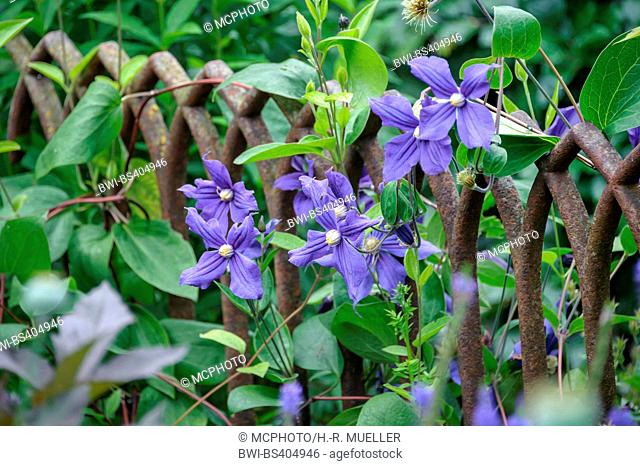 clematis, virgins-bower (Clematis spec.), cultivar Durandii