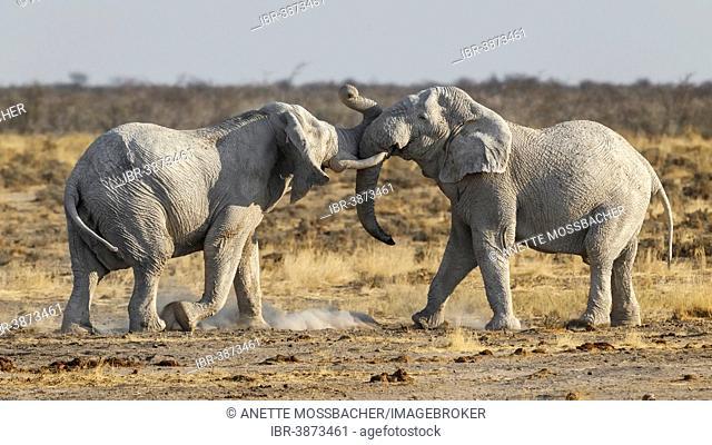 African Elephants (Loxodonta africana), two bulls fighting, Etosha National Park, Namibia