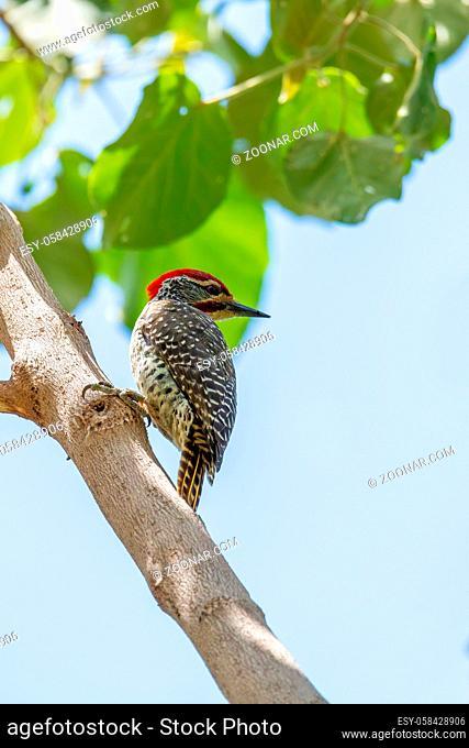 Nubian woodpecker (Campethera nubica) is a species of bird in the family Picidae. Wondo Genet, Ethiopia Africa safari wildlife